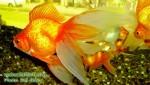 Angel Fish Aquarium
